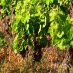 vigne roussillon